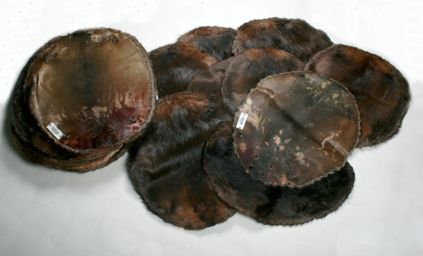 Natural Canadian Beaver Raw Skins - (Fur Harvesters)